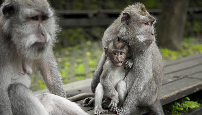 Tempat Obyek Wisata Monkey Forest Di Ubud Bali